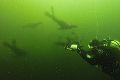 Diving with sea lions in Peru with Nature Expeditions (4)
