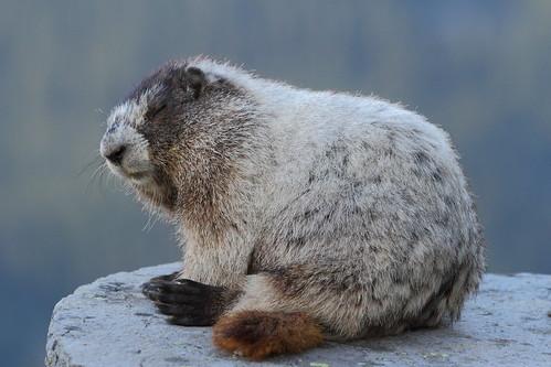 Hoary Marmot at 6am - still sleepy