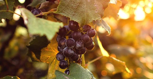Concord Grape Cluster
