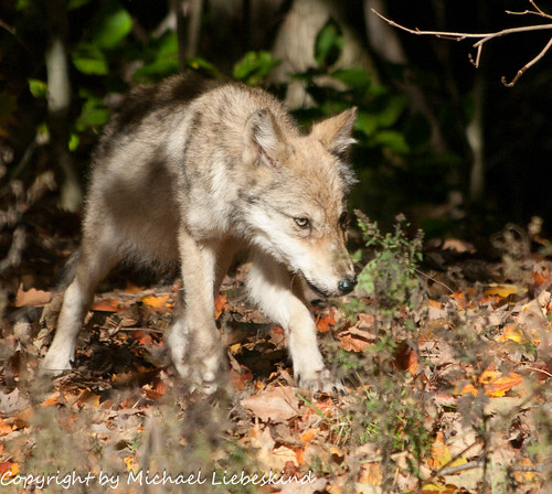 Wolf Pup by Liebeskind Photos