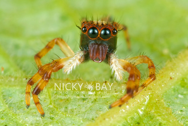 Jumping Spider (Salticidae) - DSC_5513