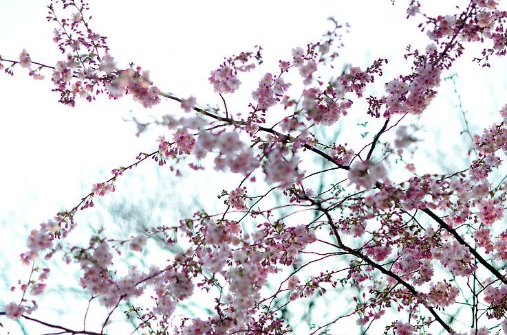 DSC_7215 pink spring blossom