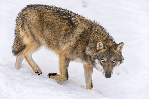 Wolf slowly walking in the snow
