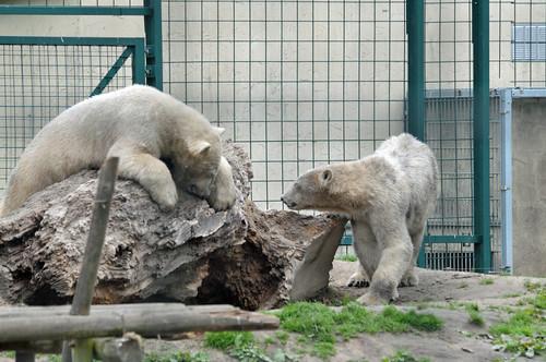 Eisbären Pixel und Noordje  im Dierenrijk in Mierlo