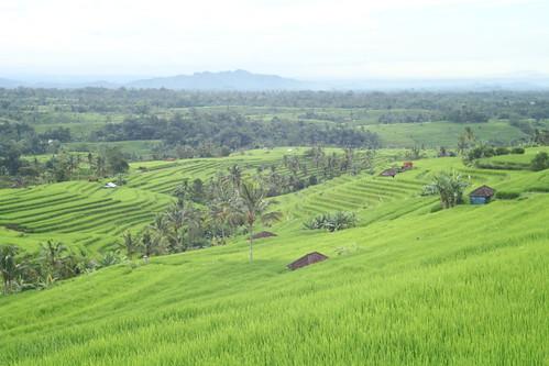 Rice terrace of Jatiluwih