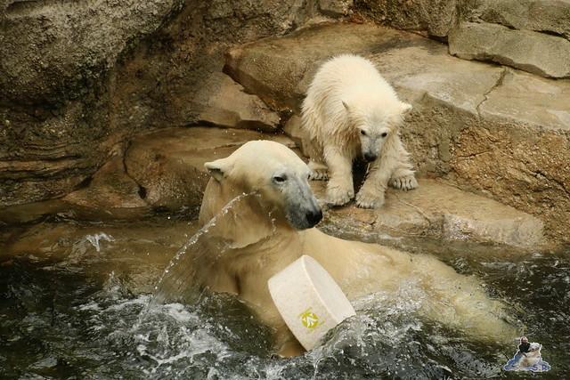 Eisbär Lili im Zoo Bremerhaven 30.04.2016 Tei 1  187