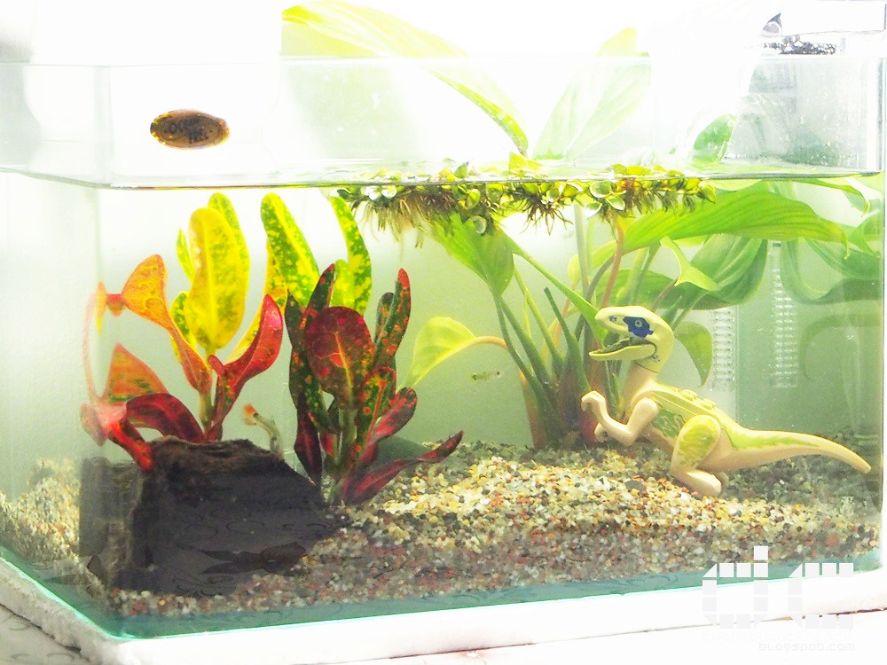 aquarium, c328, freshwater aquarium, freshwater tank, guppy, hobby, nano tank, personal, tropical aquarium, singapore