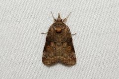 Nycteola cinereana - Hodges # 8977