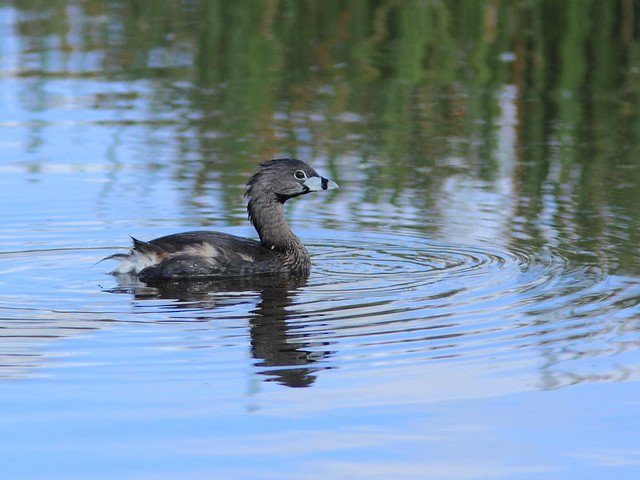 Pied-billed Grebe 20120318