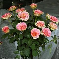 Rosa 'Fantasia Mondiale'® - Róża