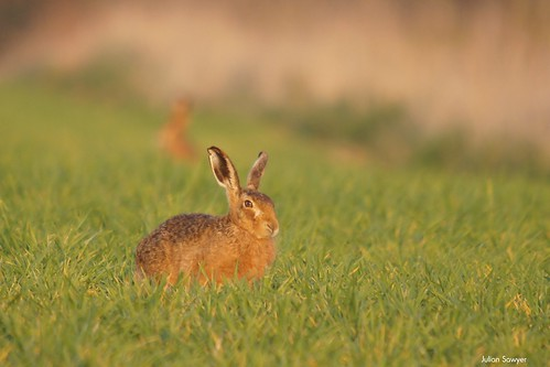 Hares & Graces by julian sawyer