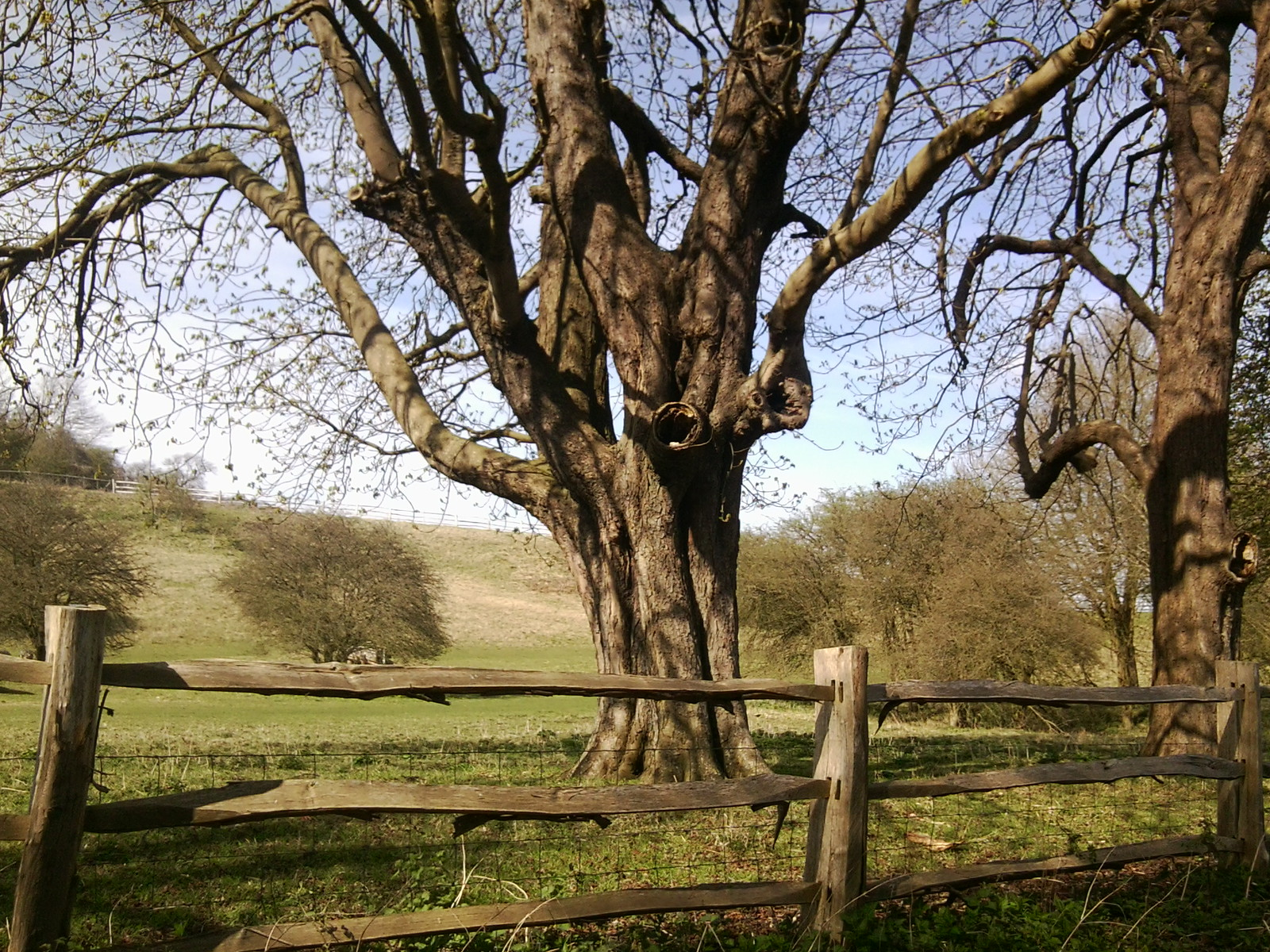 Tree Chilham Circular