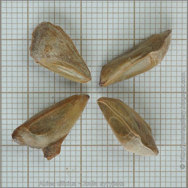 Abies cilicica seeds - Jodła syryjska nasiona