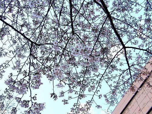 神谷町の桜