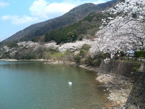 Cherry Blossom in Misaka natural forest, Shimonoseki
