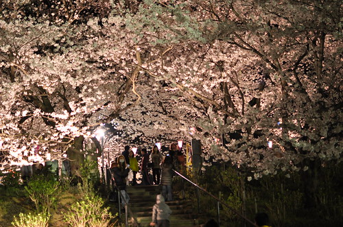 the cherry blossoms in the evening