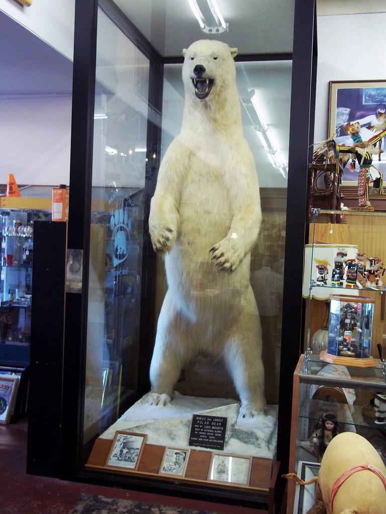 World's 2nd largest Polar Bear