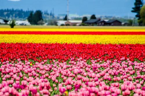 ~Skagit Tulips 2012