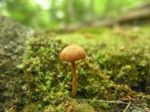 Knit-cap mushroom