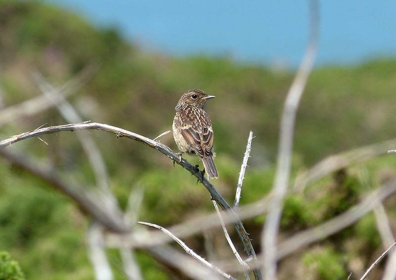 27441 - Stonechat, Marloes
