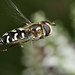 Hoverfly Scaeva pyrastri on miniature hebe sequence #4 by Lord V
