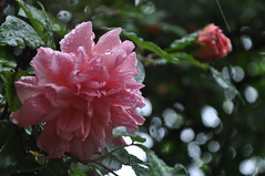 Pink rose in the rain at Rosentorget 10