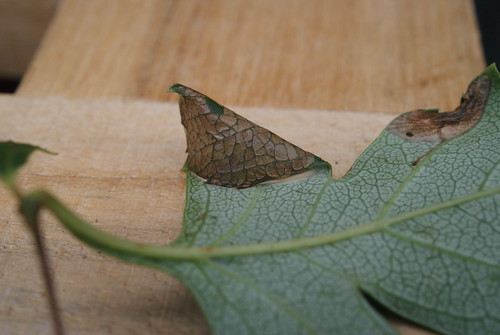 Parornix anglicella mine on hawthorn (2)