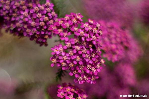 Die Gartenform der Schafgarbe (Achillea millefolium)