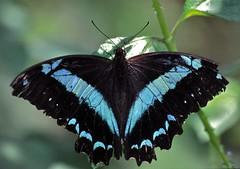 Blue Swallowtail (Papilio oribazus)