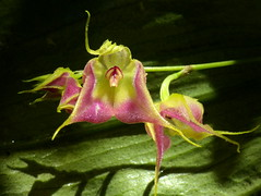 Lepanthes of Ecuador
