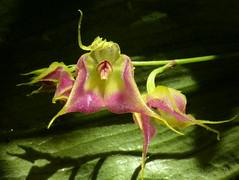 Lepanthes of Ecuador