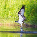 Osprey by Chas Moonie ~ Wild Photography