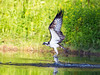 Osprey by Chas Moonie-Wild Photography