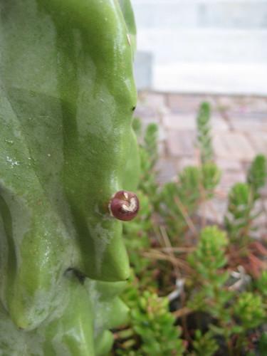 cactus pimple