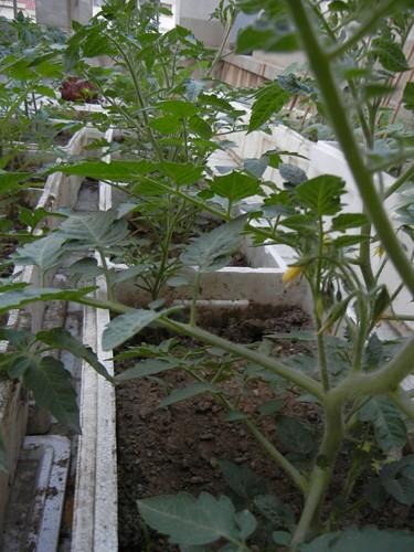 Rooftop Vegetable Gardens : Rooftop Vegetable Garden _ 9894  Flickr - Photo Sharing!