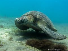 Giant Green Turtle-01