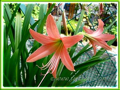 Potted Salmon-coloured Hippeastrum at our backyard, June 20 2012