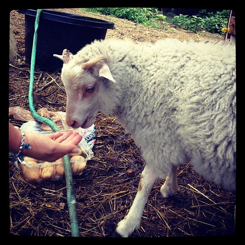 My week is full of meeting babies. Today: Flash the lamb.