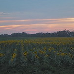 Sunset, sunflowers