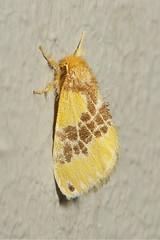 Tussock Moth (Lymantriinae)