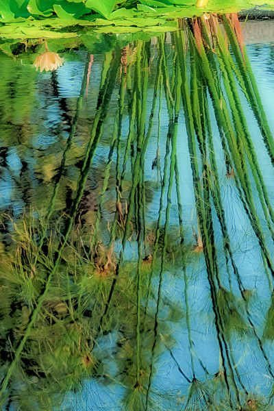 Reflections of Water Lilies