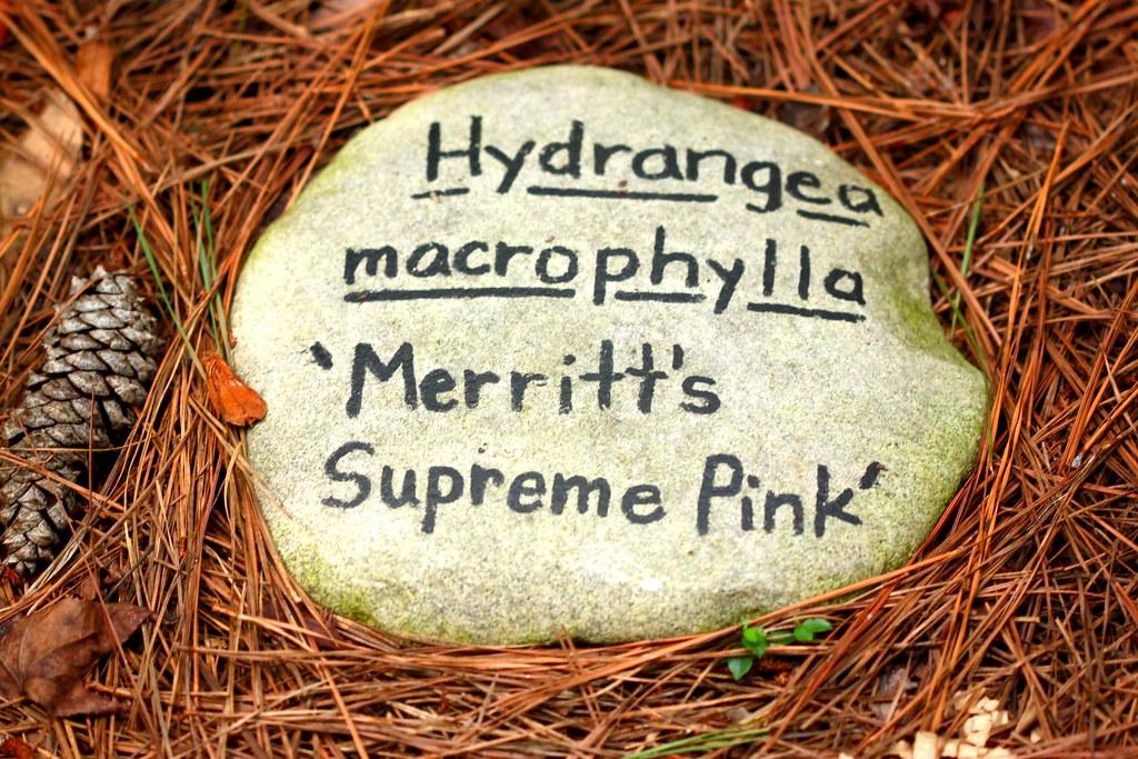 Hydrangea Rock