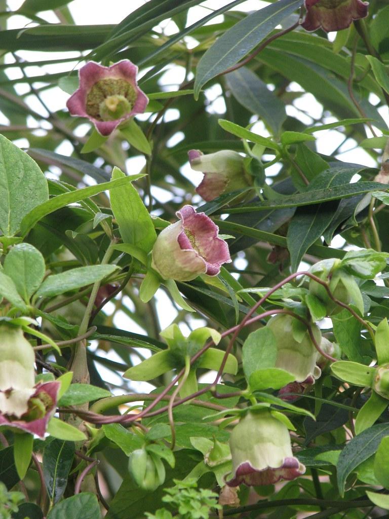 Codonopsis lanceolata in Schefflera taiwaniana