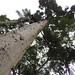 "Small photo of Kauri ""Agathis australis"""
