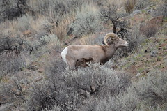 animal, tundra, mammal, barbary sheep, fauna, mountain goat, wilderness, wildlife,