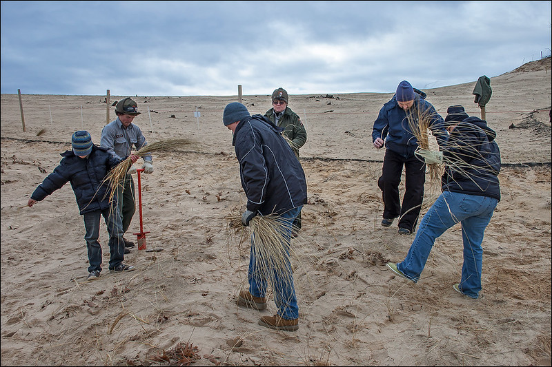 Planting Marram Grass