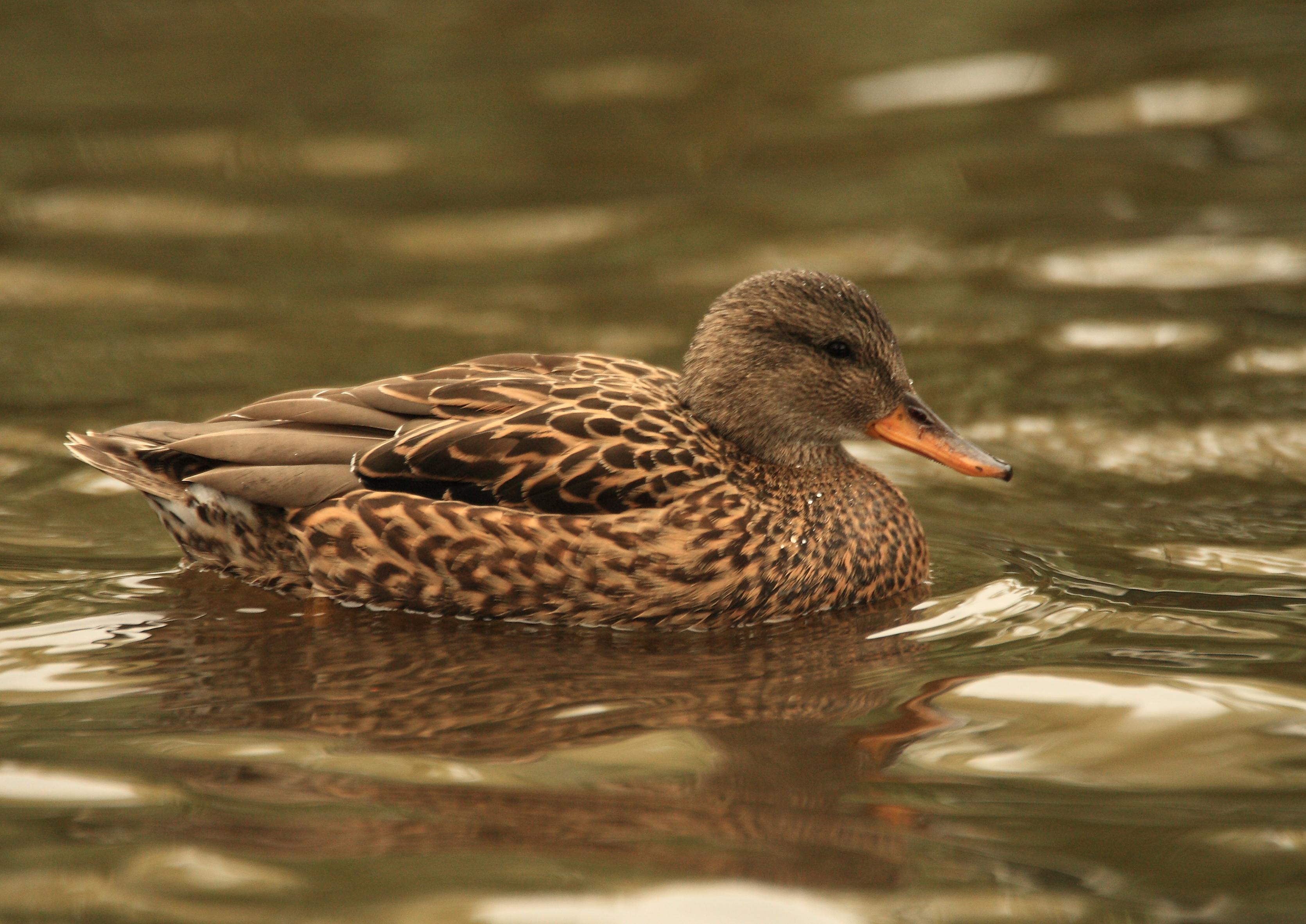 545J3416 Gadwall duck