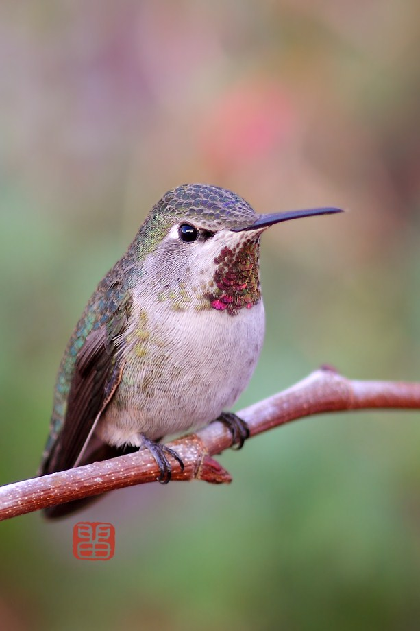 Anna's Hummingbird 110812-2