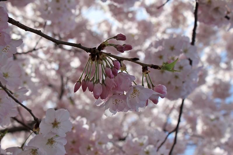 National Cherry Blossom Festival 2014