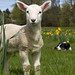 Week old Lamb at Dogwood Farms - Central Saanich, B.C.